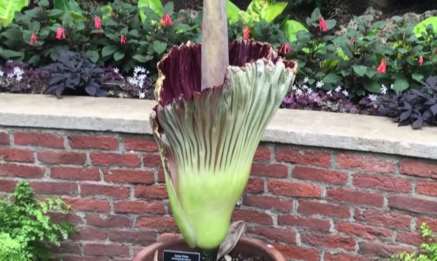 Not much time left to see foul smelling Corpse Flower bloom RabbleVID