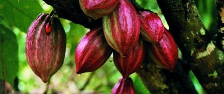 Privatisation of the commercial assets of the Cocoa Industry Board (CIB)