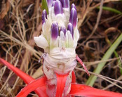 Bromelia_no_mapinguari