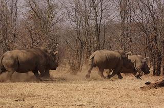hiphopopotamus vs rhinoceros pictures