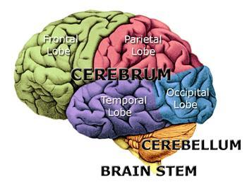 an analysis of functions of the two sides of the human brain Introduction: the human brain  which connects the two sides of the brain  the midbrain and brain stem, control the bodily functions we have no conscious.