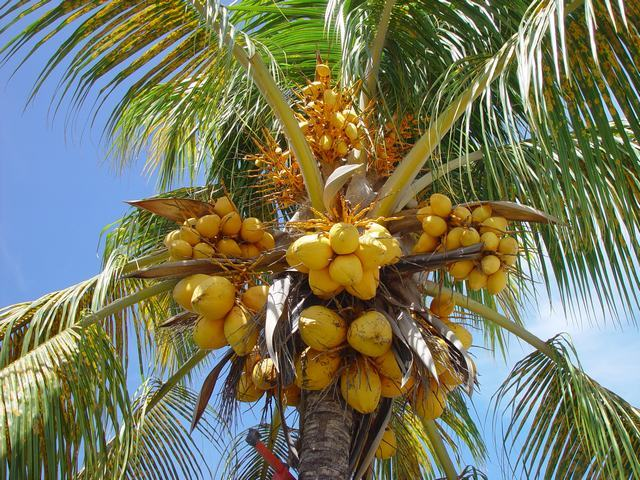 Y 39 a plus de grands que des cocotiers y 39 a plus de - Palmier cocotier ...