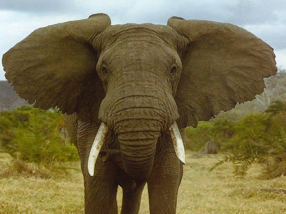 Elephant Hearing  Elephant