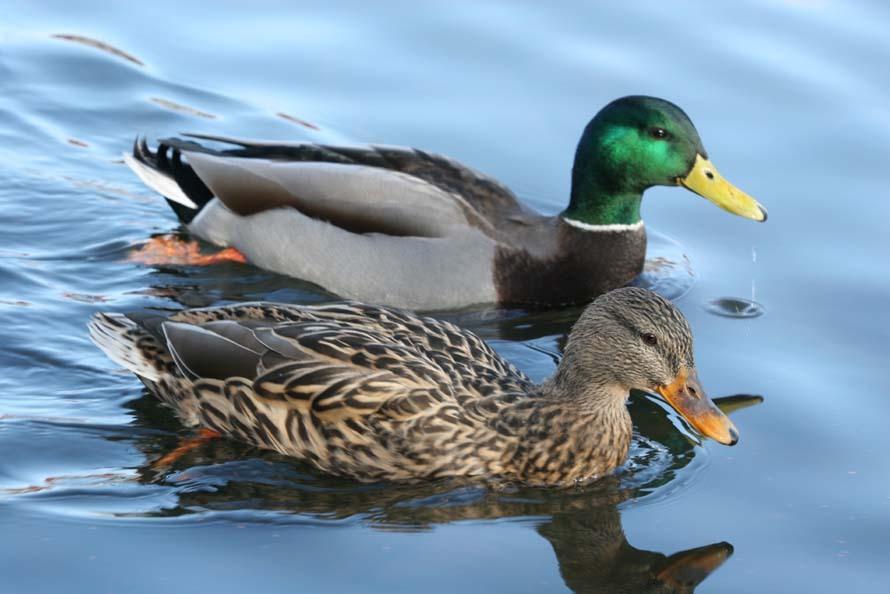 sex with dead duck in riverside