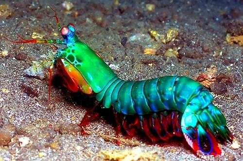 Why the mantis shrimp is my Saltwater Shrimp Species