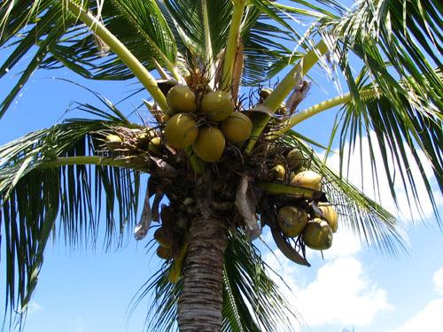 http://s3.amazonaws.com/rapgenius/coconut_tree_in_napili.jpeg