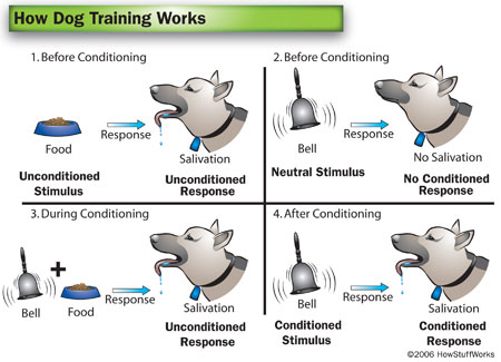 In His Classical Conditioning Experiment Pavlov S Dogs Were Conditioned