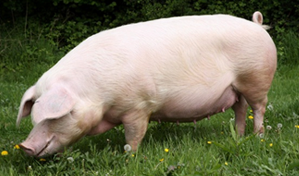home_pig.png