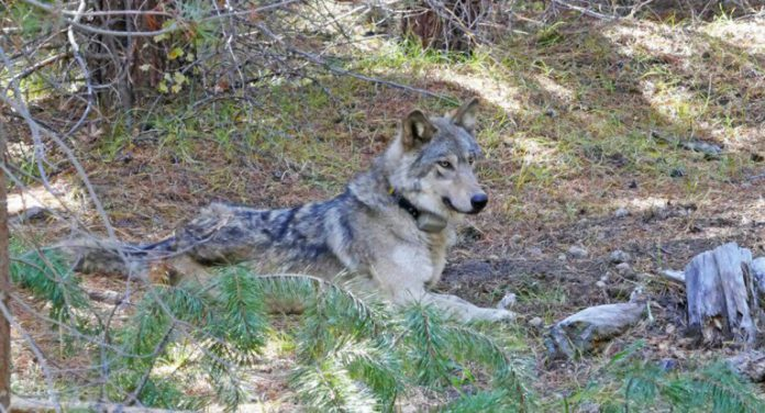 OR-54, the female gray wolf that was found dead
