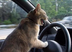 Cat-drivers-would-be-cooler