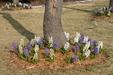 Hyacinth_thumb