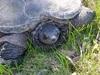 Turtle_1_thumb