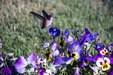 24_hummingbird_and_pansies_thumb