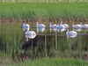 Pelicans_in_marsh_thumb