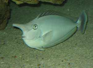 10 11 2014 05 23 09 spotted unicornfish