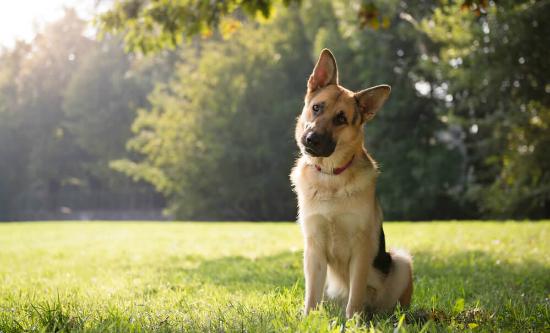 Doenças respiratórias em cães: quais são as mais comuns?