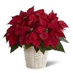 3307 - Red Poinsettia Basket (Small) Santa Maria CA delivery.