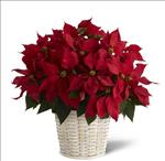 3308 - Red Poinsettia Basket (Large) Santa Maria CA delivery.