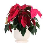 1917 - Red Poinsettia Santa Maria CA delivery.