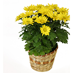 1961 - Daisy Chrysanthemum Santa Maria CA delivery.