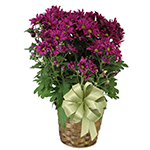 1962 - Daisy Chrysanthemum Santa Maria CA delivery.