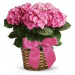 2308 - Pink Hydrangea Lompoc, CA delivery.