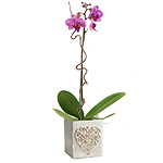 2332 - Valentine Orchid Lompoc, CA delivery.