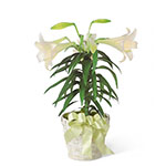 2350 - Easter Lily Plant US and Canada delivery.