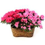 2377 - Double Pink Azalea Basket Santa Barbara, CA delivery.