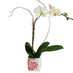 2482 - Valentine Orchid Santa Maria CA delivery.