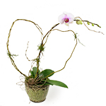 2500 - Phalaenopsis Orchid Plant Santa Maria CA delivery.