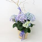 2505 - Hydrangea in Light Basket Santa Maria CA delivery.