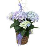 2506 - Hydrangea in Dark Basket Santa Maria CA delivery.