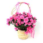 2507 - Azalea in Light Basket Santa Barbara, CA delivery.