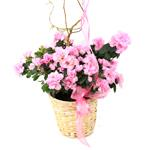 2508 - Azalea in Light Basket Arroyo Grande, CA delivery.