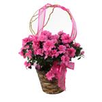 2512 - Azalea in Dark Basket Santa Barbara, CA delivery.