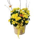 2516 - Spring Begonia Lompoc, CA delivery.