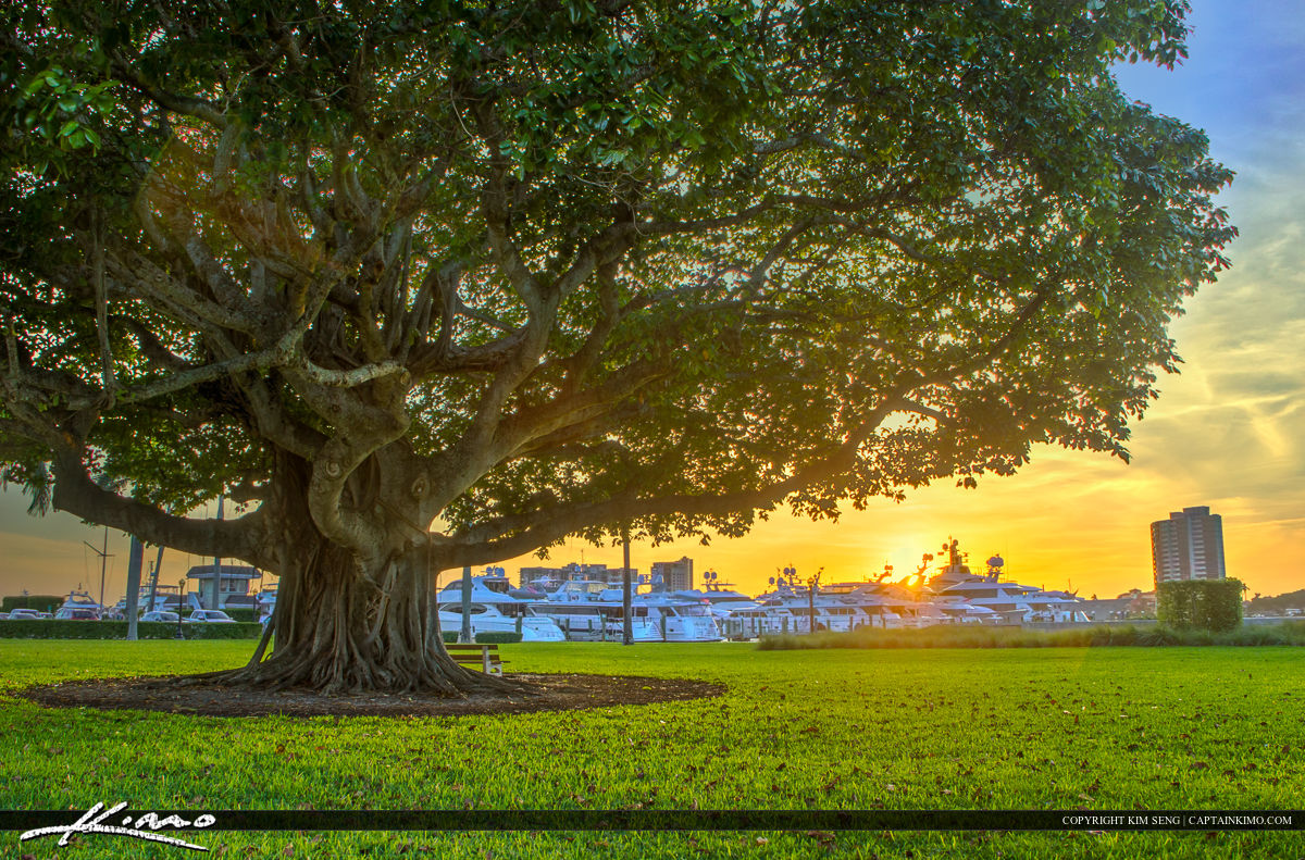 banyan tree in america and europe The banyan tree is the national tree of india and is considered sacred by hindus the tree getting a 'drip' is thought to be one of the oldest of its kind in the world.