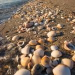 Beach Life Shells along the Shore
