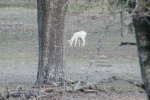 Some of the things you see while railfanning (other than trains) - A leucistic (not albino) deer