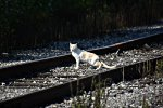 Scruffy the cat crosses safely ahead of the train.