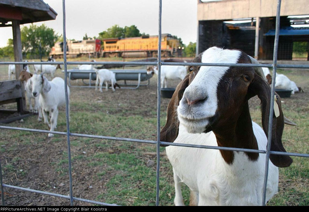Appropos of nothing, here's some goats with power of Union Pacific's Wichita Falls local holding in the background.