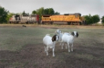 Goats find the photographer more interesting that the lite-engines of UP's Wichita Falls-Fort Worth local, holding to meet a westbound train at Alvord, TX