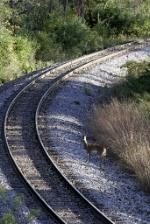 Interchange Track, EJ&E Yard with Deer