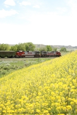 BNSF 771 (C44-9W) passes a hillside covered in yellow