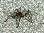 I saw this tarantula crossing the road