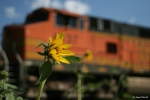 Flower Power I, I see a pumpkin growing in the background, BNSF 4137 climbs Bozeman Pass