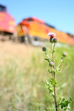BNSF 882 (C40-8W) gets some secondary attention to the ladybug climbing on the knapweed