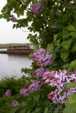 Lilacs and Locomotives - PW NR-2 rolls along Mill Cove in Ledyard, CT