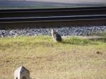The Railroad Cat of Folkston